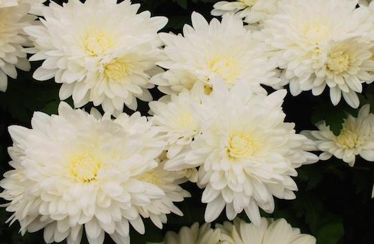Chrysanthemum-7
